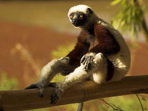 madagascar-lemur_6021_600x450