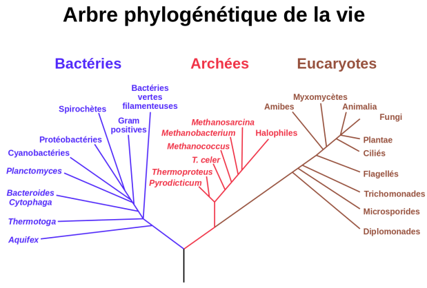 1280px-Phylogenetic_tree-fr.svg.png